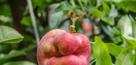 Crowdfunding-Aufruf: Zweite Chance für steirische Äpfel mit Schönheitsfehler