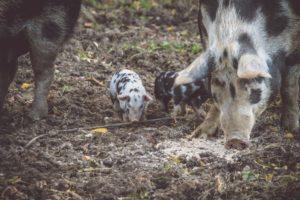 (c) Lukas Sauseng - Nahgenuss legt darauf Wert, dass es den Schweinen gut geht.