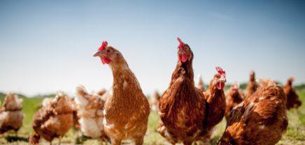 Bolivien fordert Entschuldigung: Bill Gates Hühnerspende in der Kritik