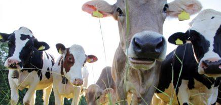 Startup Milestones #8: Connecterra und die Digitalisierung der Milchkuh