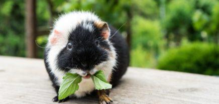 Kurioser Usecase: Artificial Intelligence benennt Meerschweinchen