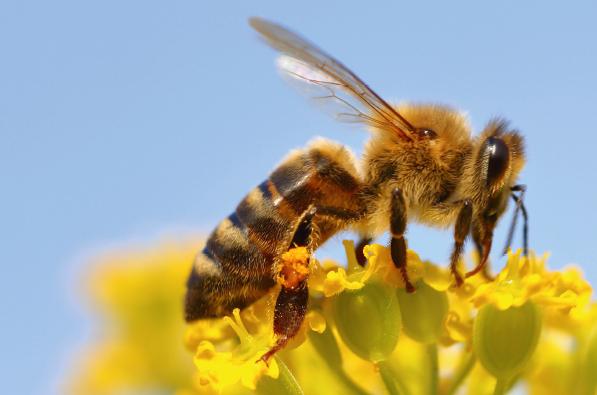 Wie mit Big Data das Bienensterben verhindert werden soll