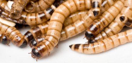 SixBug: Wiener Low-Carb-Riegel aus 100 Insekten überzeugte im Blindtest