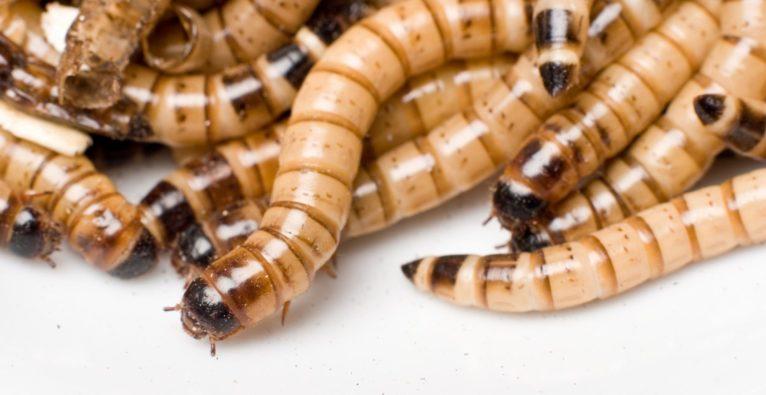Mehlwürmer sind einer der Bestandteile des Proteinriegel SixBug des Wiener Startups Insection