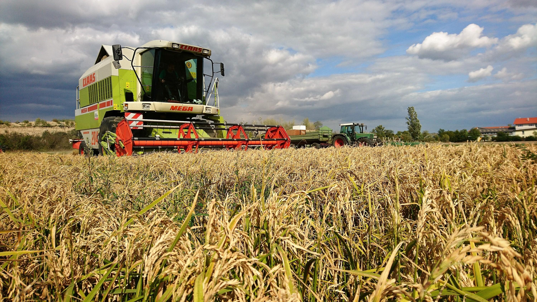 Österreis: Reis aus Österreich im Trockenreis-Verfahren angebaut
