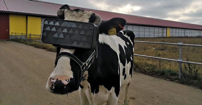 Russische Kühe tragen diesen Winter Virtual Reality-Brillen