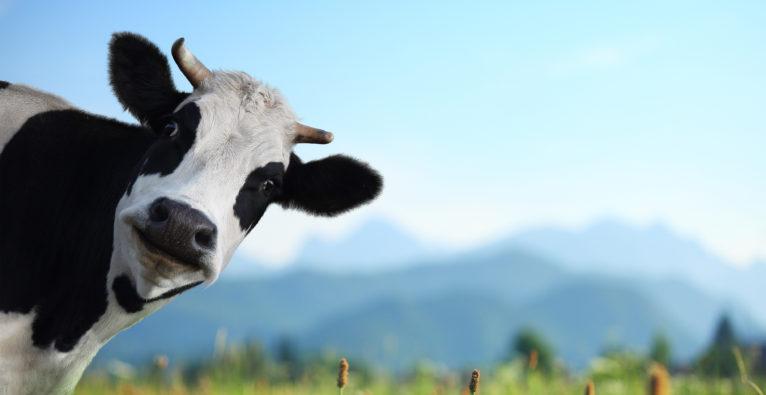 smaXtec misst Werte der Kuh via Sensor.